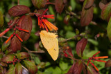 Orange-barred Sulphur _11R8320.jpg
