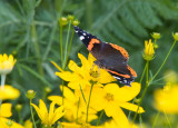 Red Admiral _S9S9062.jpg