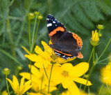 Red Admiral _S9S9063.jpg