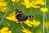 Red Admiral _S9S9072.jpg
