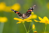 Red Admiral _S9S9137.jpg