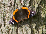 Red Admiral _S9S7369.jpg