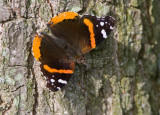 Red Admiral _S9S7434.jpg