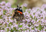 Red Admiral _S9S7693.jpg