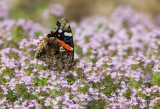 Red Admiral _S9S7697.jpg