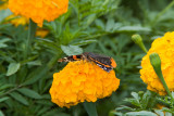 Red Admiral _S9S9111.jpg