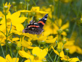 Red Admiral _S9S9114.jpg