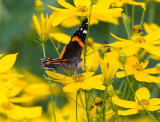 Red Admiral _S9S9117.jpg