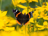 Red Admiral _S9S9121.jpg