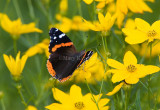 Red Admiral _S9S9139.jpg
