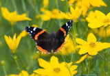 Red Admiral _S9S9140.jpg