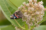 Red Admiral _S9S9164.jpg