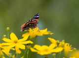 Red Admiral _S9S9194.jpg
