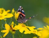 Red Admiral _S9S9197.jpg