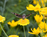 Red Admiral _S9S9206.jpg