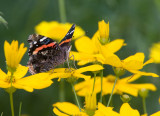 Red Admiral _S9S9211.jpg
