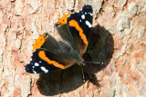 Red Admiral _S9S9327.jpg