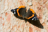 Red Admiral _S9S9349.jpg