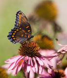 Red-spotted Purple  _MG_7412.jpg