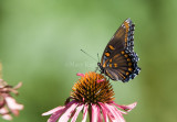 Red-spotted Purple  _MG_7462.jpg