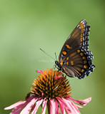 Red-spotted Purple  _MG_7464.jpg