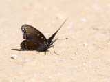 Red-spotted Purple  _MG_9653.jpg