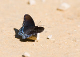 Red-spotted Purple  _MG_9658.jpg