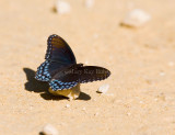 Red-spotted Purple  _MG_9664.jpg