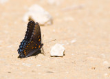 Red-spotted Purple  _MG_9677.jpg