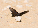 Red-spotted Purple  _MG_9686.jpg