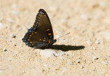 Red-spotted Purple  _S9S6839.jpg
