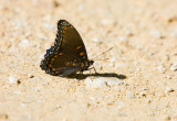 Red-spotted Purple  _S9S6844.jpg