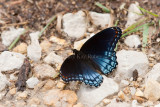 Red-spotted Purple _11R0535.jpg