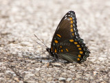 Red-spotted Purple _H9G5291.jpg
