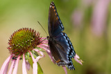 Red-spotted Purple _I9I3905.jpg