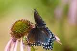 Red-spotted Purple _I9I3906.jpg