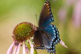 Red-spotted Purple _I9I3908.jpg