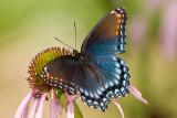 Red-spotted Purple _I9I3910.jpg