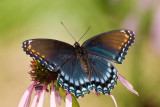 Red-spotted Purple _I9I3913.jpg