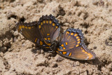 dead Red-spotted Purple _MG_6451.jpg