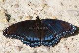 Red-spotted Purple _MG_9816.jpg