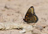 Red-spotted Purple-White Admiral hybrid _S9S8148.jpg