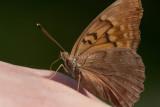 Tawny Emperor _11R2043.jpg