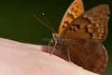 Tawny Emperor _11R2050.jpg