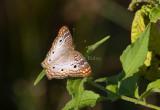White Peacock _11R8122.jpg