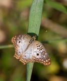 White Peacock _11R8137.jpg