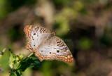 White Peacock _I9I1391.jpg