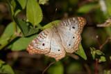 White Peacock _I9I1406.jpg