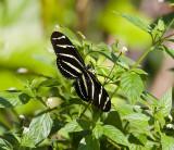 Zebra Heliconian _H9G0583.jpg