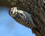 LADDER-BACKED WOODPECKERS (Picoides scalaris)